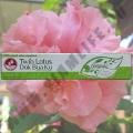 Зубная паста Twin Lotus Original 30 гр.